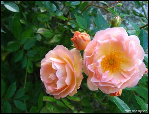 rose ghislaine (2)