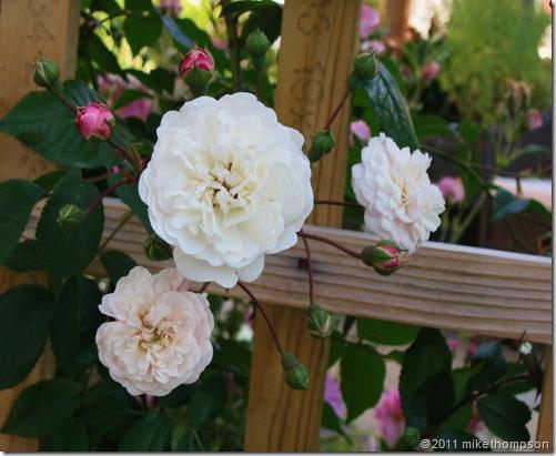 rosa felicte perpetue