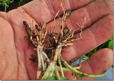 celandine root-1