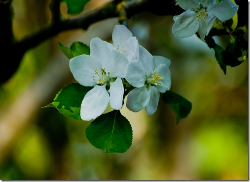 tree apple blossom-1